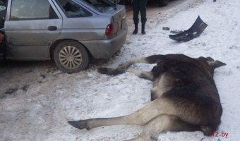 В Белоруссии два автомобиля разбились в столкновении с огромным лосем