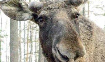 В Ленинградской области сбитый лось убил человека