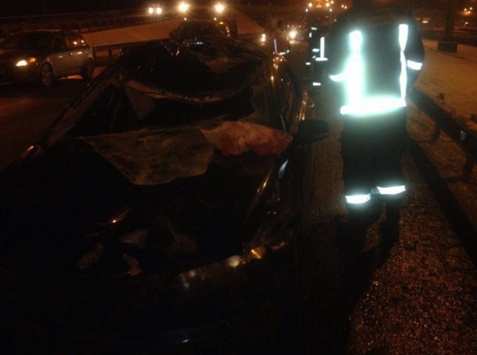 В Петербурге на КАД автомобиль сбил лося 2.jpg