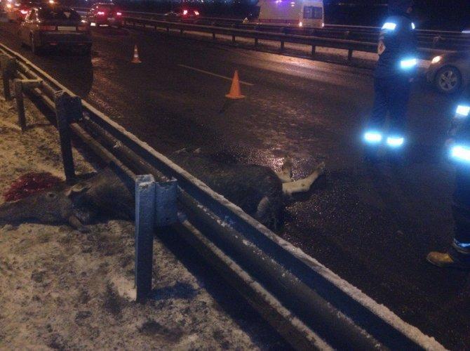В Петербурге на КАД автомобиль сбил лося 1.jpg