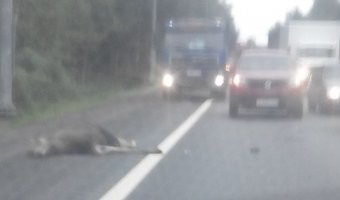На Мурманском шоссе насмерть сбили человека и лося