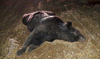 В Свободненском районе в ДТП погиб медведь и пострадали люди