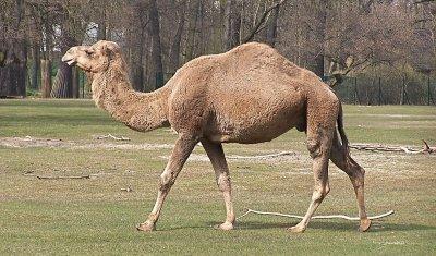 Пять человек погибли в ДТП  с верблюдом в Казахстане