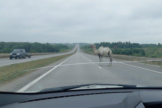 Верблюд стал причиной ДТП в Тульской области (1)