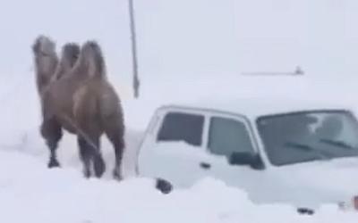 Видео дня: под Саратовом верблюд вытаскивает