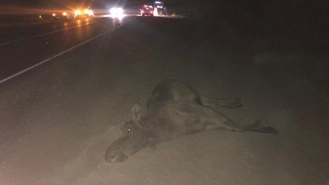В ДТП с лосем под Рязанью погиб человек